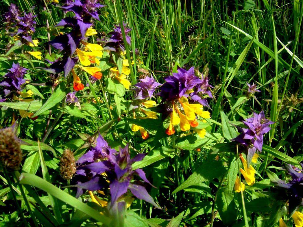 Фото цветов иван да марья