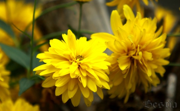 Цветок рудбекия