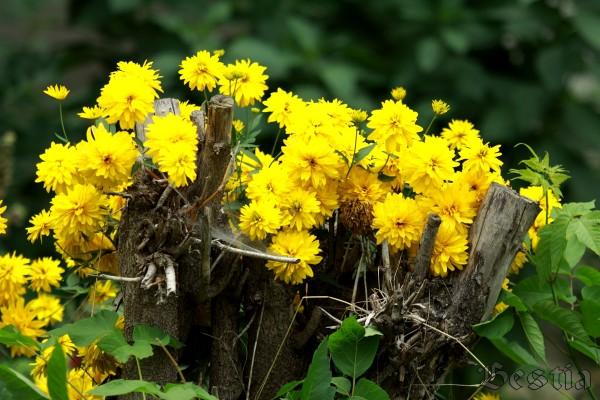 Желтые цветы на пне