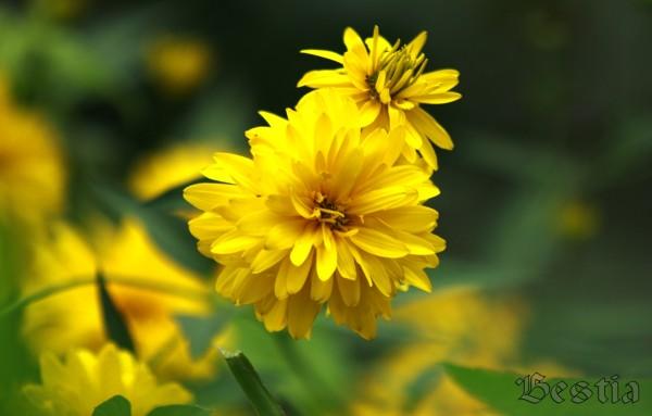 Цветок золотой шар