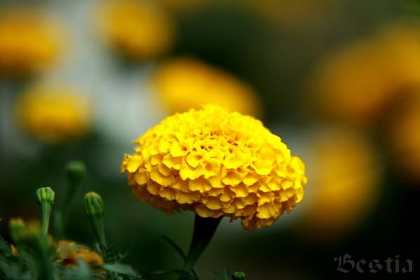 Желтая бархотка