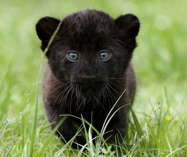 Детеныш пантеры