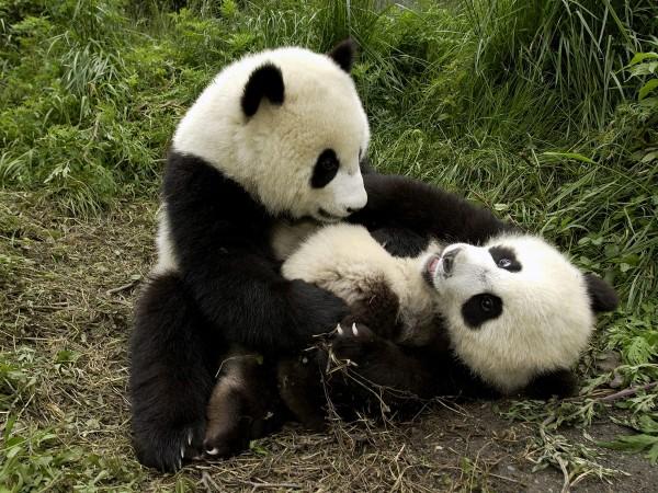 Детеныши панды