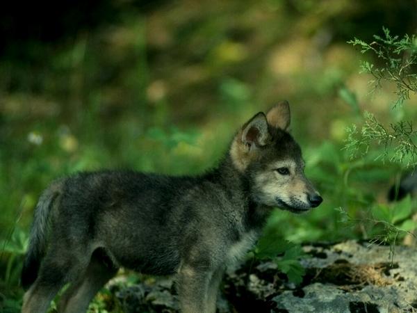 Маленький волчонок
