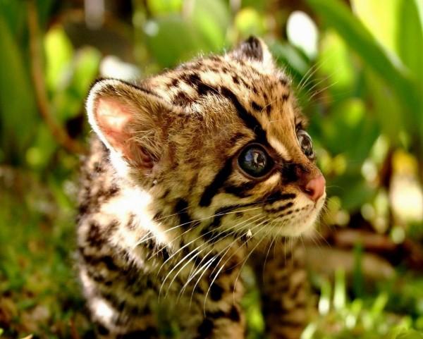 Малыш леопарда
