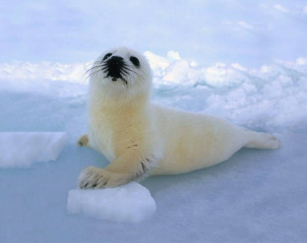 Тюлененок