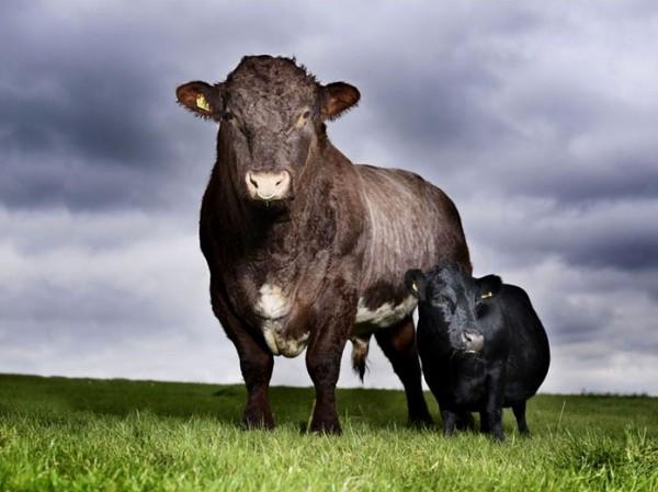 Корова Ласточка