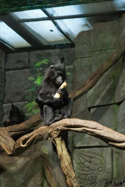 Черный хохлатый мангобей