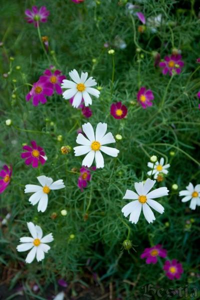 Ромашки садовые
