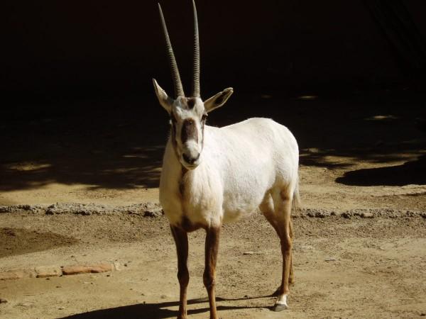 Королевская антилопа