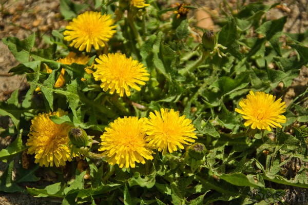 Желтые одуванчики