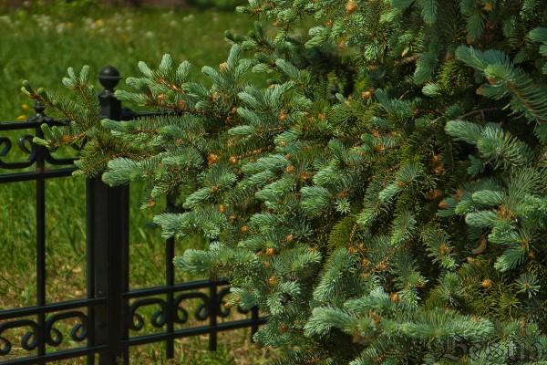Ограда и ель