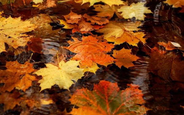 Кленовые листья на воде