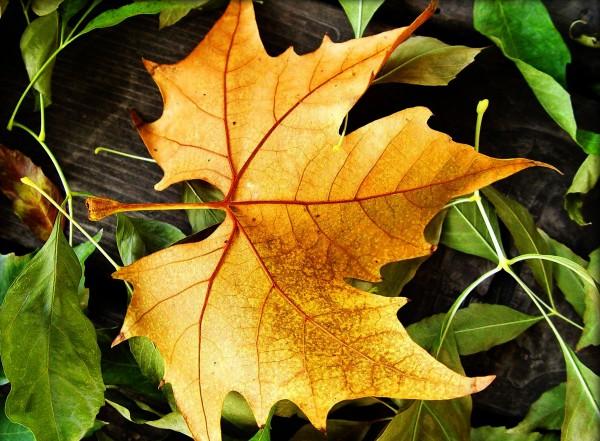 Желтый кленовый лист