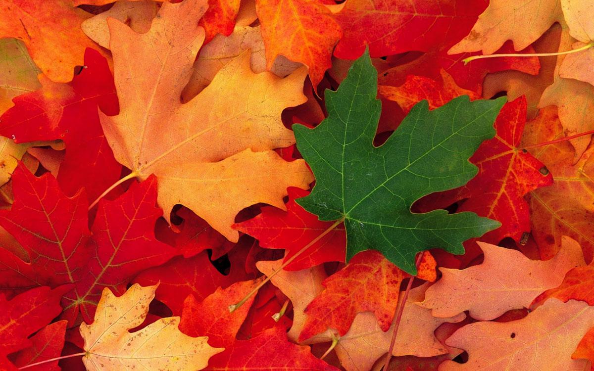 Кленовые листья на прозрачном фоне картинки для
