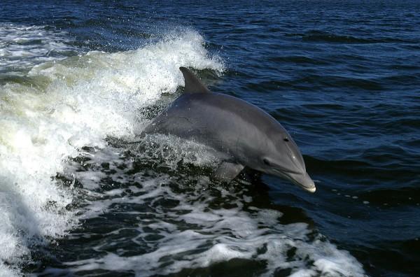 Бурый дельфин