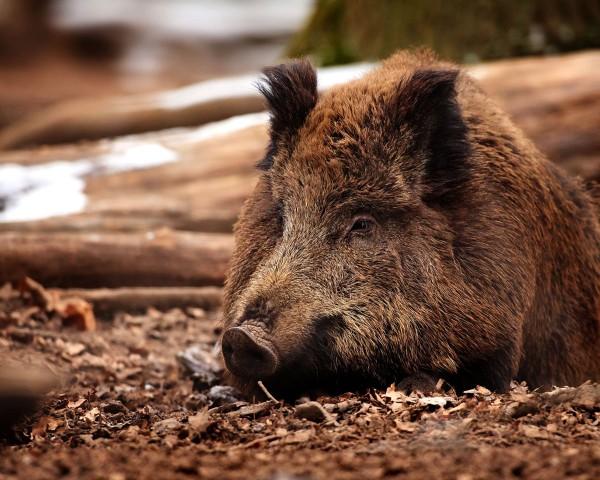 Европейский кабан, или дикая свинья