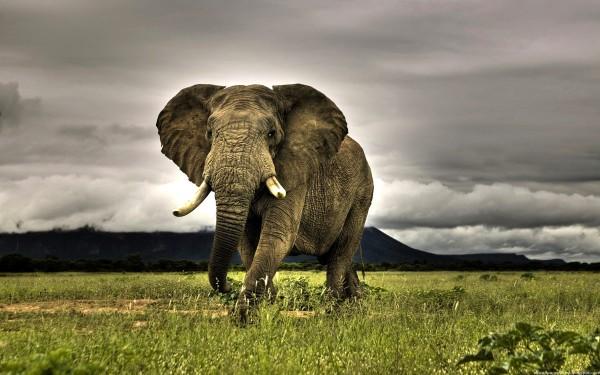 Азиатский, или индийский слон